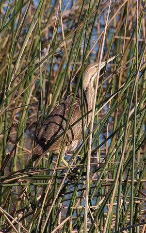 Bittern in reeds