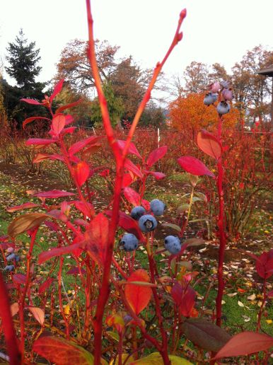 autumn blueberries