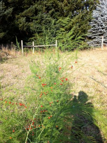 asparagas berries
