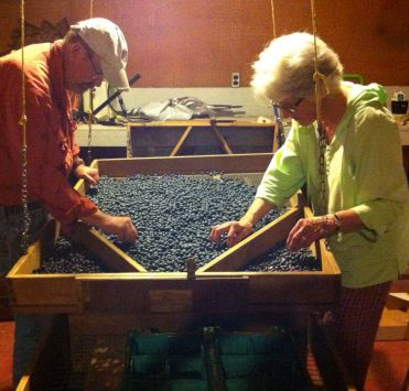 blueberry processing