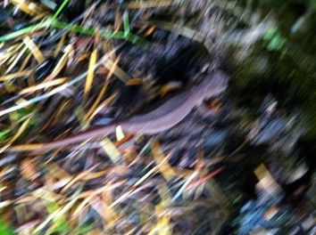 blurry salamander