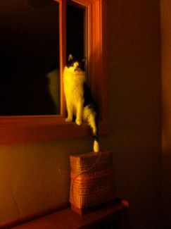 vermeer cat