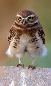 kj thurgood burrowing owl
