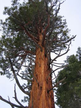 old sequoia
