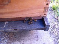 Bees going into a hive. Note there's one with pollen saddlebags. These are different colors depending on the type of pollen they are collecting.