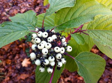 eyeball berries